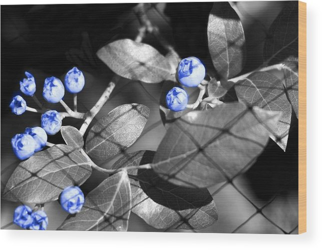 Blueberries Wood Print featuring the photograph Blueberry Magic by Barbara S Nickerson