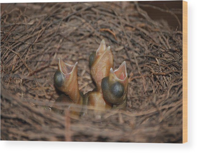 Bluejay Chicks Wood Print featuring the photograph Bluejay Chicks by Jaron Wood