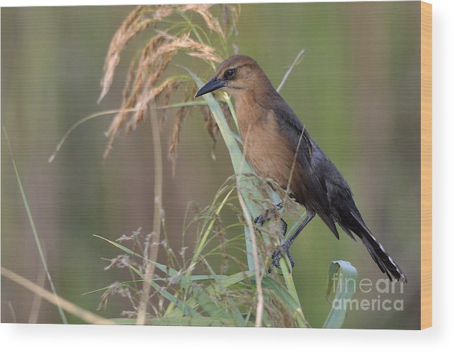 Grackle Wood Print featuring the photograph Boat-tailed by Adam Stuckert
