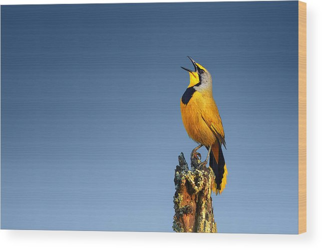 Bokmakierie Wood Print featuring the photograph Bokmakierie Bird Calling by Johan Swanepoel