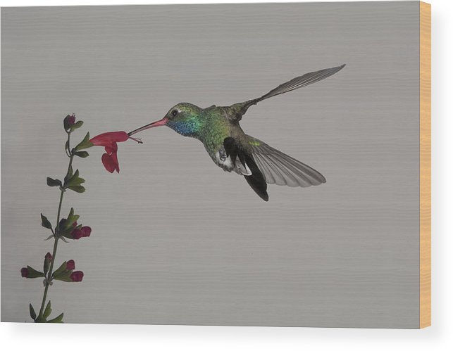 Arizona Wood Print featuring the photograph Broadbill And Salvia by Gregory Scott