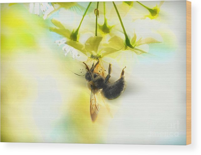 Bubble Bee Wood Print featuring the photograph Bumble Going In For The Nectar by Dan Friend