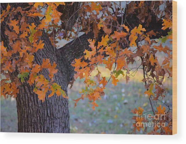 Autumn Wood Print featuring the photograph Bur Oak Tree In Autumn by Janette Boyd
