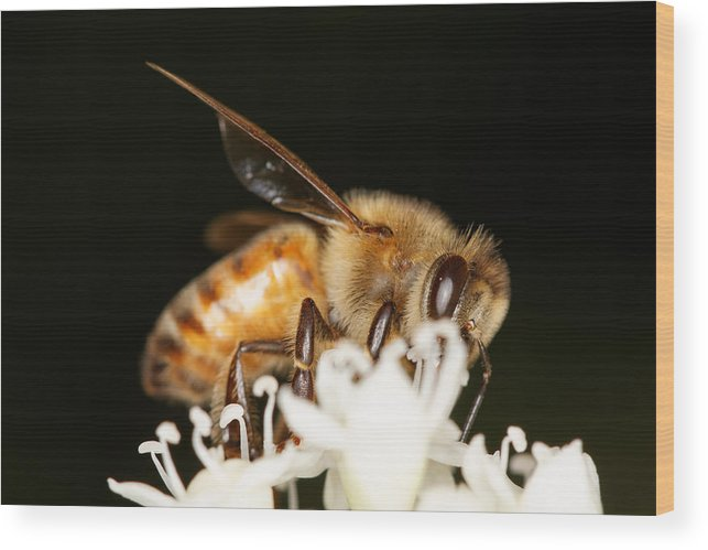 Bee Wood Print featuring the photograph Busy Bee by Jonathan Davison