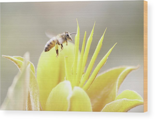 Bee Wood Print featuring the photograph Busy Bee by Luna Curran