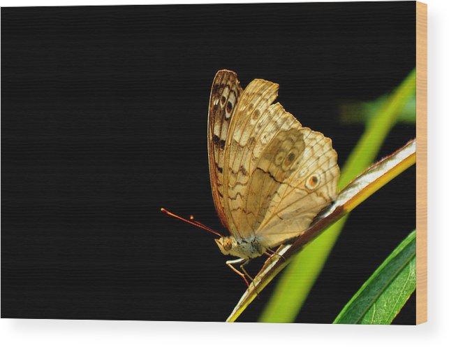 Pupae Wood Print featuring the photograph Buterfly by Pisit Santikulluk