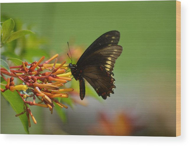 Butterfly Wood Print featuring the photograph Butterfly Away by Steve Griffin