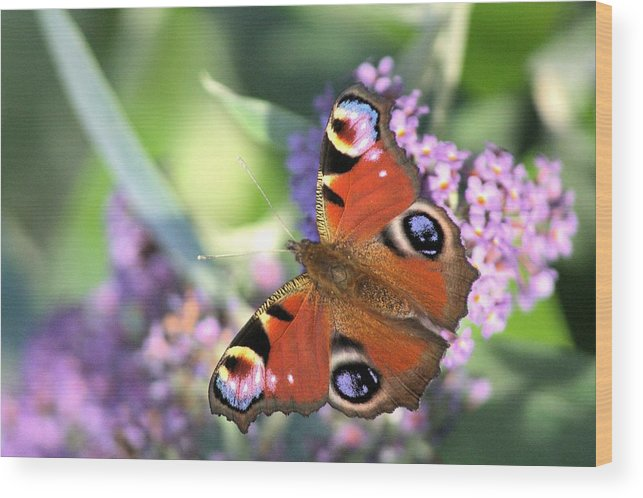 Butterfly Wood Print featuring the photograph Butterfly On Buddleia by Gordon Auld