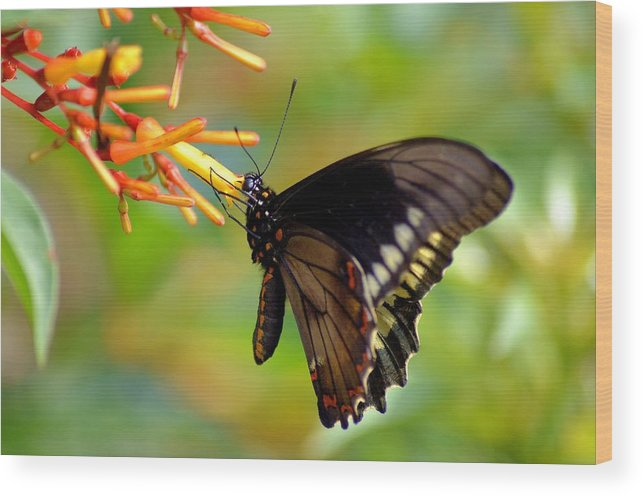 Butterfly Wood Print featuring the photograph Butterfly On Firebush by Steve Griffin