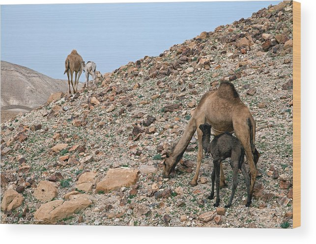 Camels Wood Print featuring the photograph Camels At The Israel Desert -1 by Dubi Roman