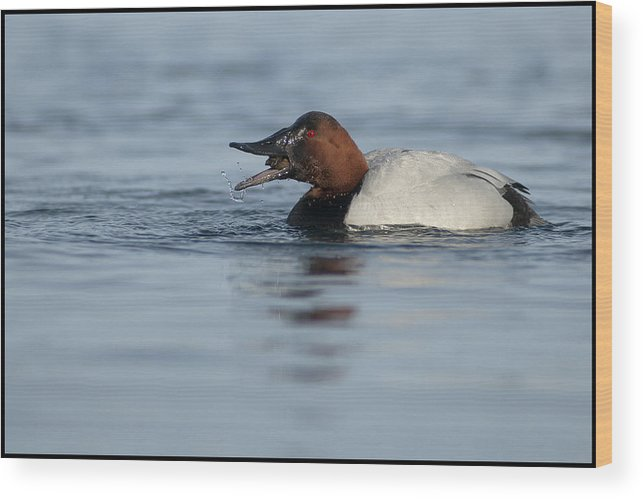 Canvasback Wood Print featuring the photograph Canvasback On The Mussel by Ward McGinnis