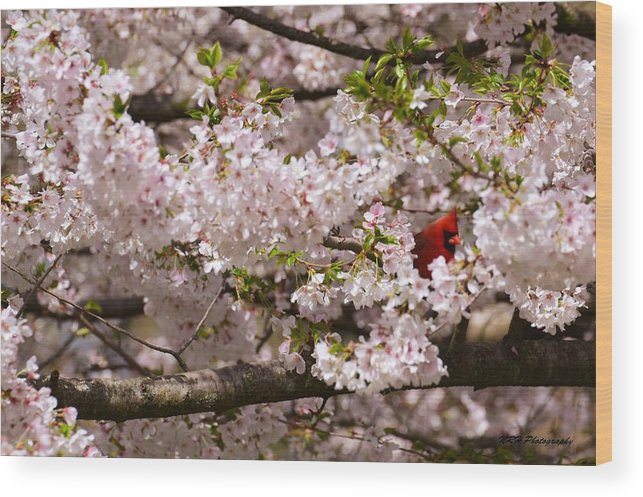 Bird Wood Print featuring the photograph Cardnel In A Cherry Tree by Nicholas Hall