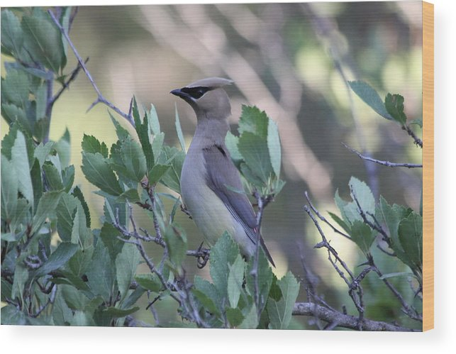 Bird Wood Print featuring the photograph Cedar Waxwing On The Malheur National Forest by Mike Bohannon