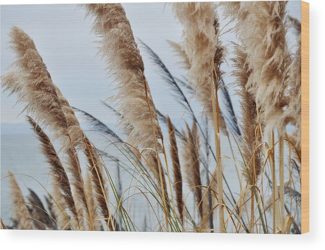 Pampas Grass Wood Print featuring the photograph Central Coast Pampas Grass II by Kyle Hanson