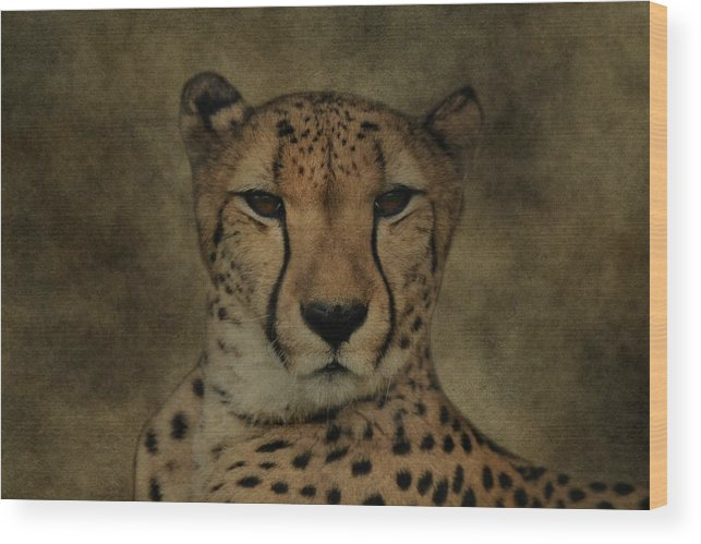 Cheetah Portrait Wood Print featuring the photograph Cheetah Face by Dan Sproul