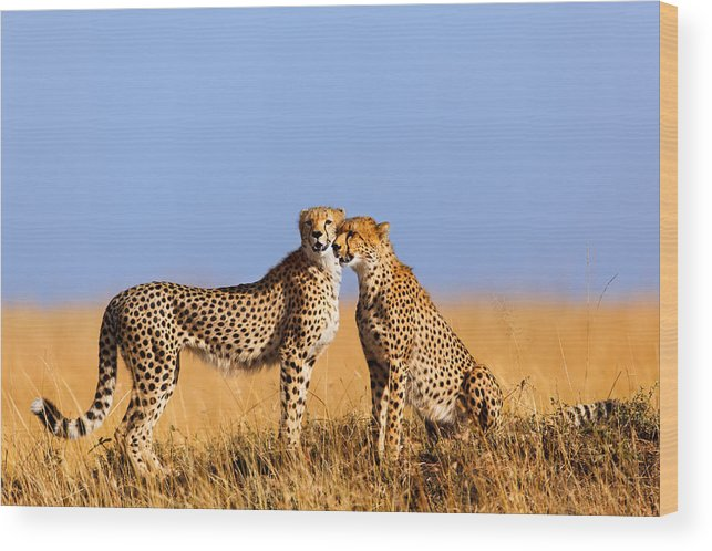 Cheetah Wood Print featuring the photograph Cheetah Mother With Daughter Masai Mara by Maggy Meyer