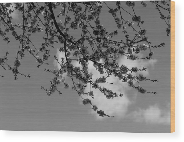 Tree Wood Print featuring the photograph Cherry Blossoms by Shelby Brower