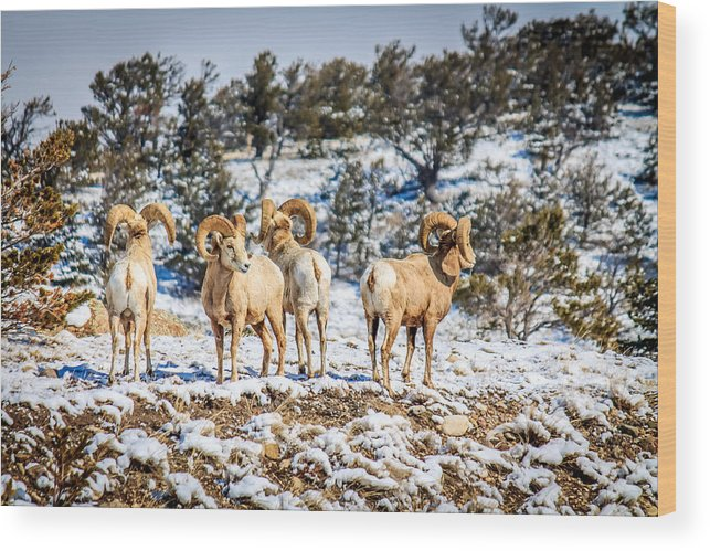 Mountain Sheep Wood Print featuring the photograph Circling The Wagons by John Lee