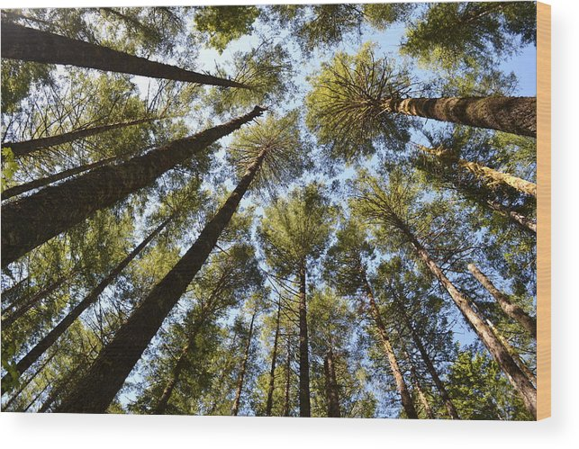 Oregon Coast Wood Print featuring the photograph Coastal Forest by Evan Silver