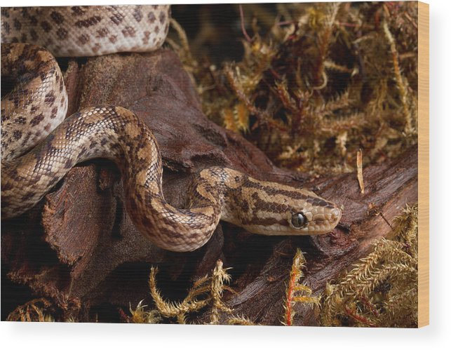 Animal Wood Print featuring the photograph Colombian Rainbow Boa Epicrates Maurus by David Kenny