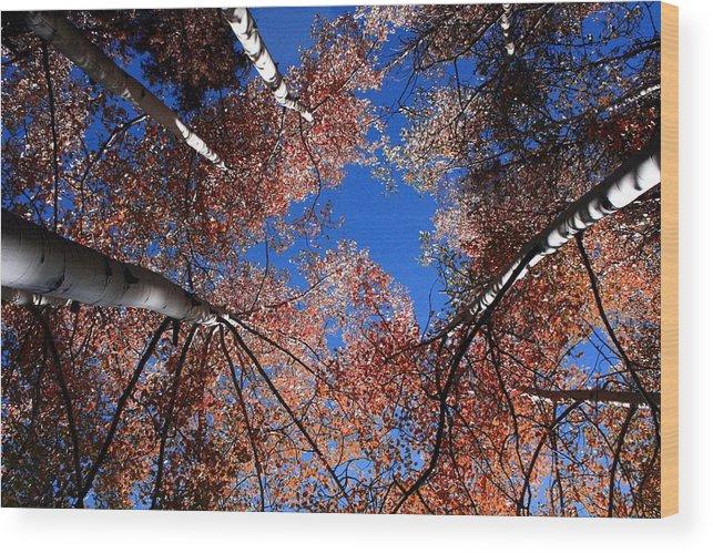 Colorado Wood Print featuring the photograph Colorado Aspens by Sarah Berndt