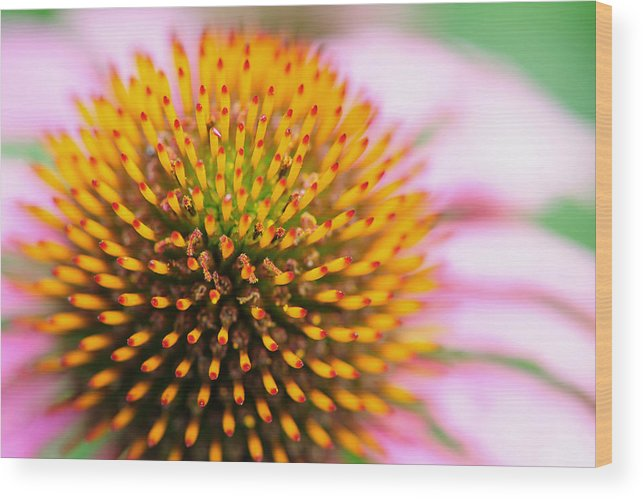 Coneflower Wood Print featuring the photograph Coneflower by John Kiss