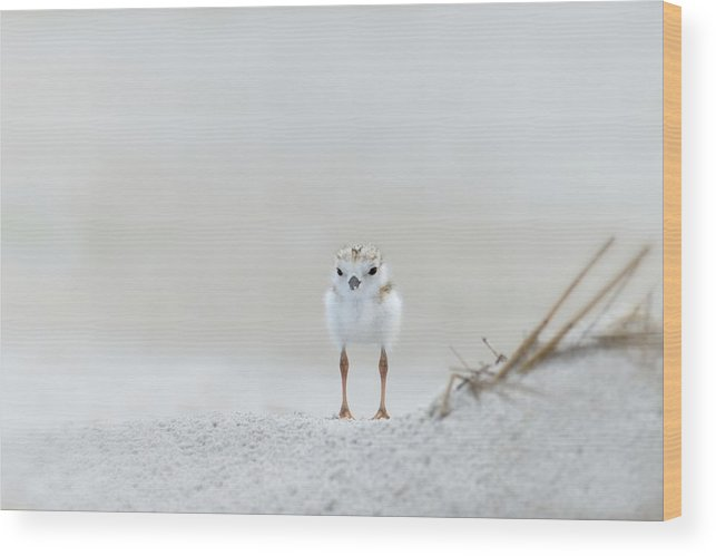 Piping Plover Wood Print featuring the photograph Cotton Ball With Legs by Don Schroder
