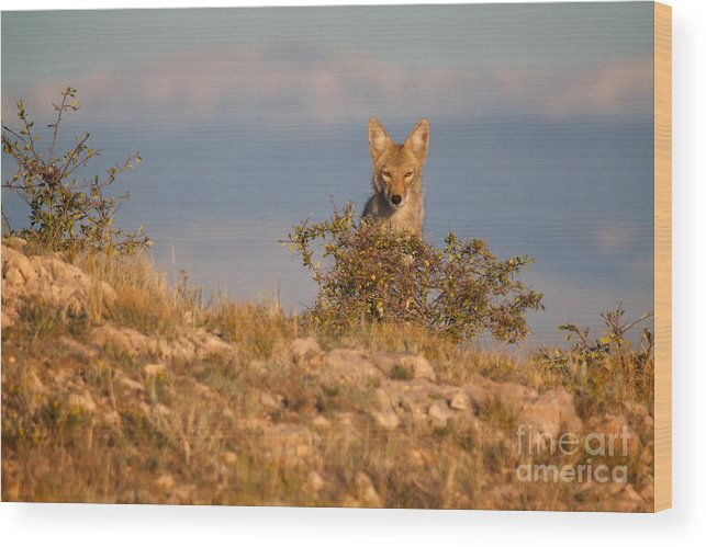 Coyote Wood Print featuring the photograph Coyote Watching by Kent Becker