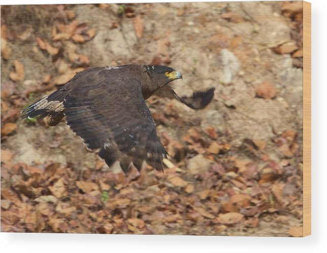 India Wood Print featuring the photograph Crested Serpent Eagle by David Beebe