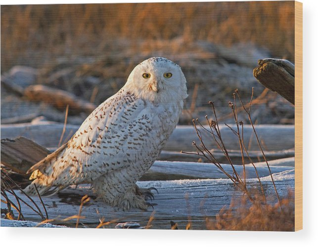 Snowy Owl Wood Print featuring the photograph Crisp Morning by Shari Sommerfeld