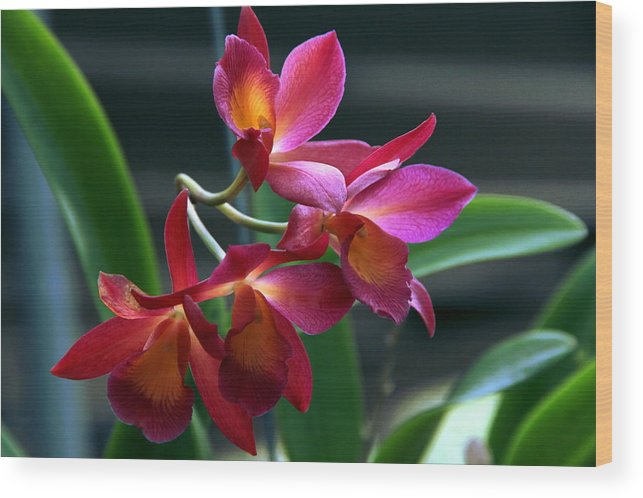 Floral Wood Print featuring the photograph Ctna New River Orchid by Greg Allore
