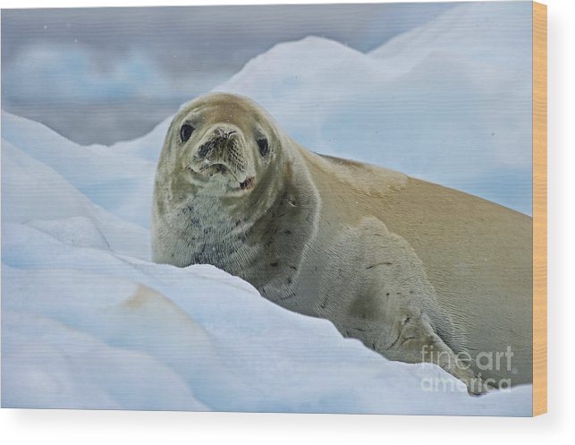 Festblues Wood Print featuring the photograph Cute And Cuddly... by Nina Stavlund