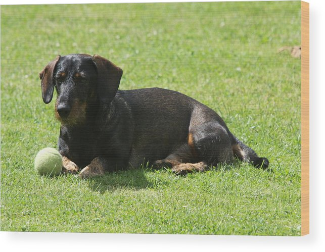 Dog Wood Print featuring the photograph Dachshund Wants To Play by Christiane Schulze Art And Photography