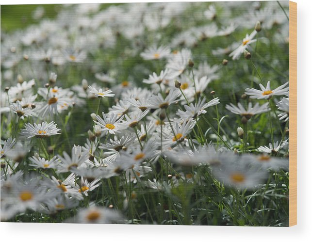 Daisies Wood Print featuring the photograph Daisy Bokeh by Gavin Baker