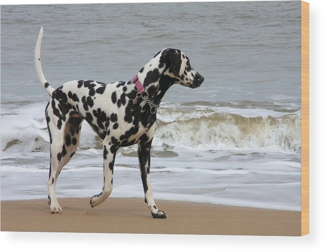 Dalmatian By The Sea Wood Print featuring the photograph Dalmatian By The Sea by Gordon Auld