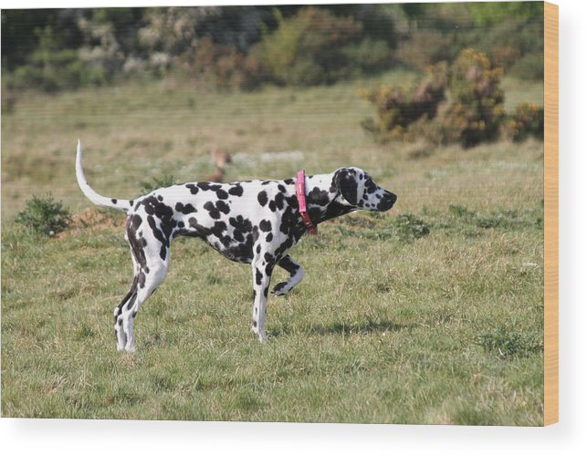 Dalmatian Pretending To Be A Pointer Wood Print featuring the photograph Dalmation Pretending To Be A Pointer by Gordon Auld