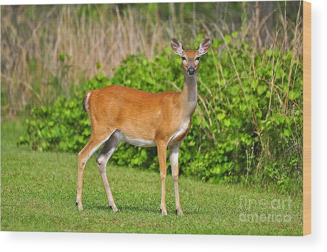 Deer Wood Print featuring the photograph Delightful Doe by Al Powell Photography USA