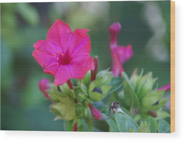 Flowers Wood Print featuring the photograph Diego De La Noche-blossom Of Red by Thomas D McManus