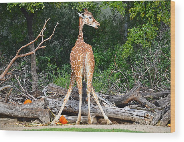 Giraffe Wood Print featuring the photograph Do You Mind by Hilton Barlow