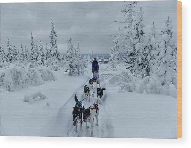 Working Animals Wood Print featuring the photograph Dogsledding Through The Forest by Johnathan Ampersand Esper