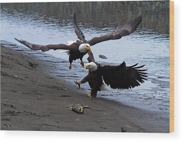Bald Eagle Wood Print featuring the photograph Double Landing by Shari Sommerfeld