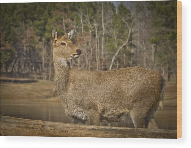 Wildlife Wood Print featuring the photograph Down By The Duck Pond by Kim Henderson