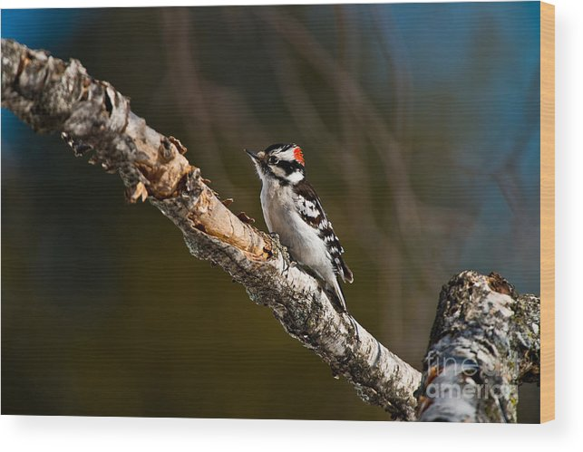 Downy Woodpecker Wood Print featuring the photograph Downy Woodpecker Pictures 36 by World Wildlife Photography