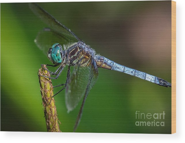 Dragonfly Wood Print featuring the photograph Dragonfly Having Summer Fun by Deborah Scannell