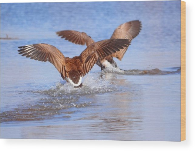 Geese Wood Print featuring the photograph Dual Landing by Valarie Davis