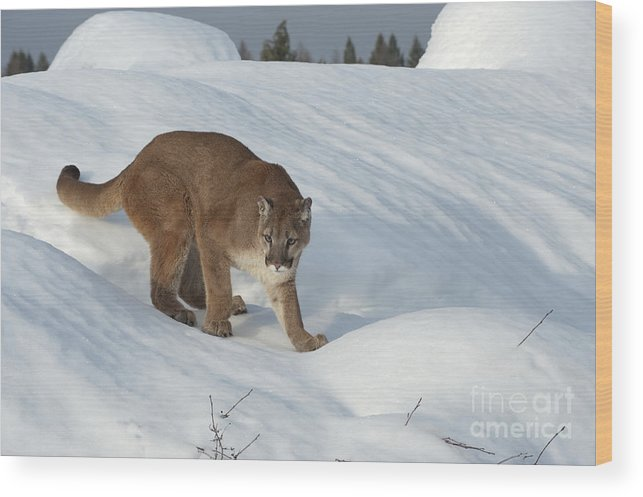 Cougar Wood Print featuring the photograph Early Morning Survey by Sandra Bronstein