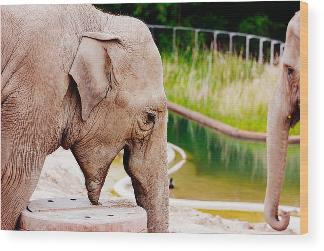 Photography Wood Print featuring the photograph Elephant Open Mouth by Pati Photography