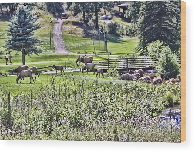 Elk Wood Print featuring the photograph Elk On The Greens by Audreen Gieger