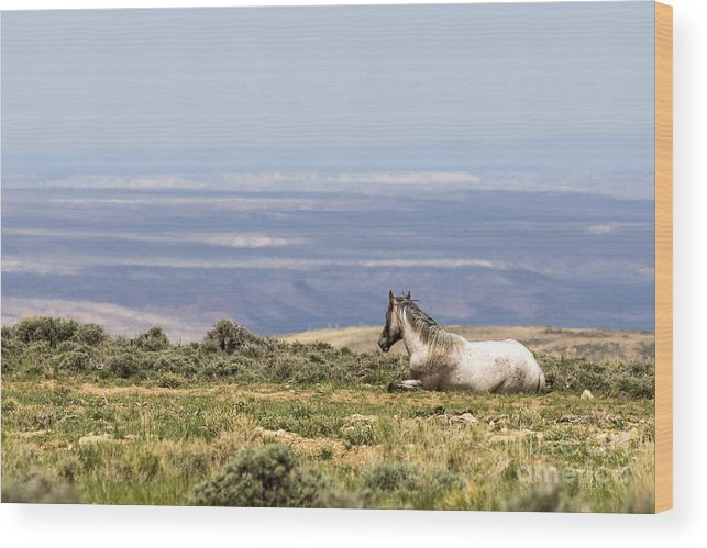 White Mountain Wild Horses Wood Print featuring the photograph Enjoying The View by Rodney Cammauf