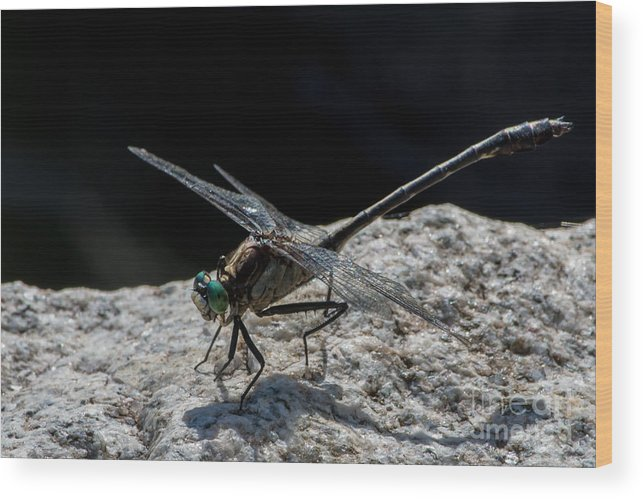 Dragonfly Wood Print featuring the photograph Envy by Bryan Neuswanger